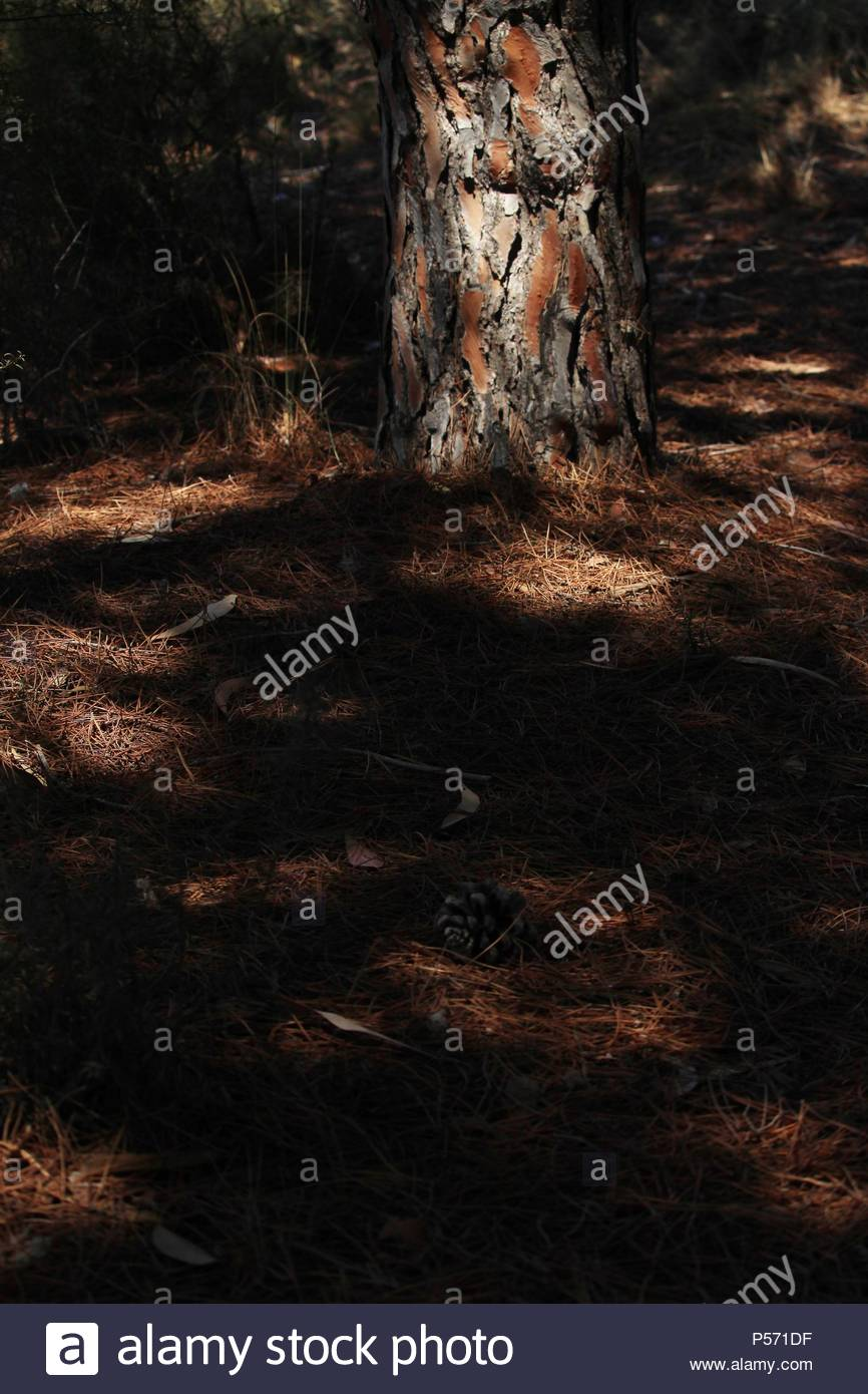 Pine cone laying under the shade of an Aleppo pine tree, on the floor of Spanish forest and nature reserve. Summer 2018. Spain. - Stock Image