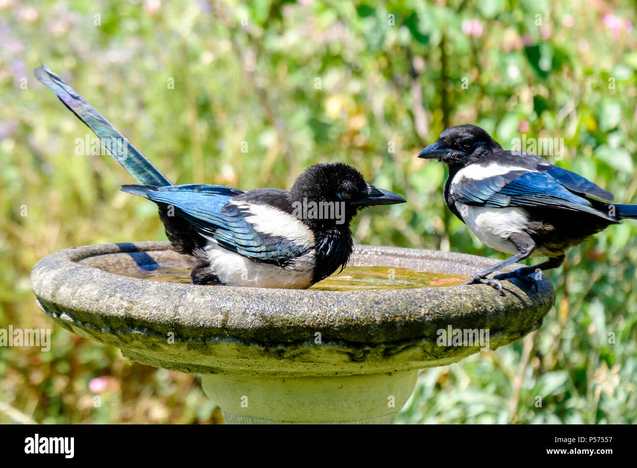 Young Magpies cool off in a London garden birdbath on a hot day - Stock Image