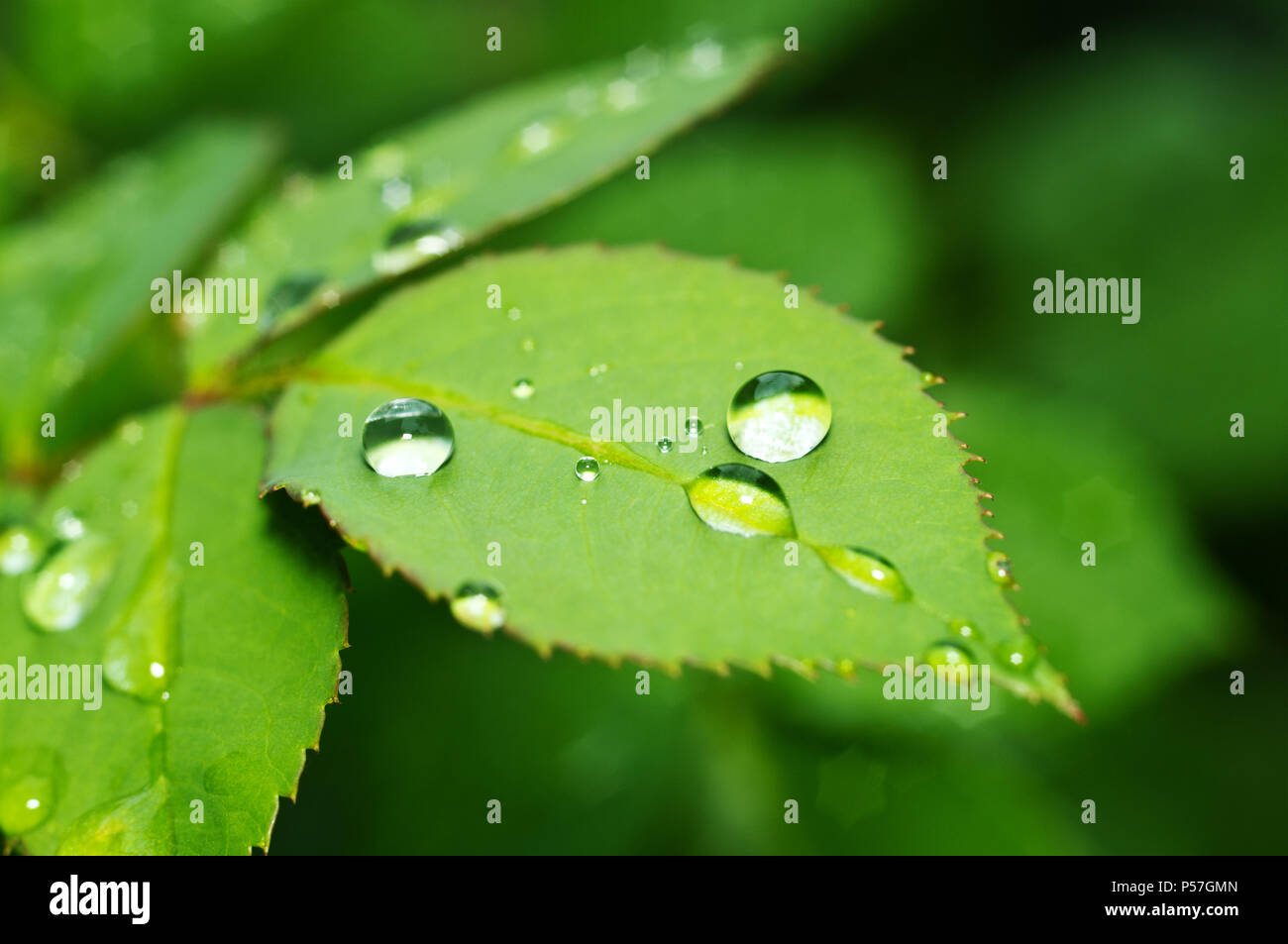 Beautiful Nature Background With Morning Fresh Drops Of Transparent Rain Water On A Green Leaf Drops Of Dew In The Green Leaves Droplets Outdoors Stock Photo Alamy