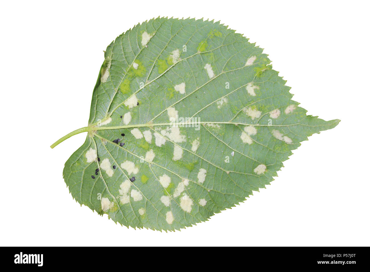 Damage to Tilia europaea leaf caused by the Lime felt gall mite Eriophyes leiosoma - Stock Image