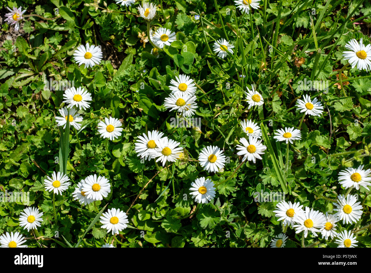 White Daisies Flowers Meadow Alsace France Europe Stock Photo