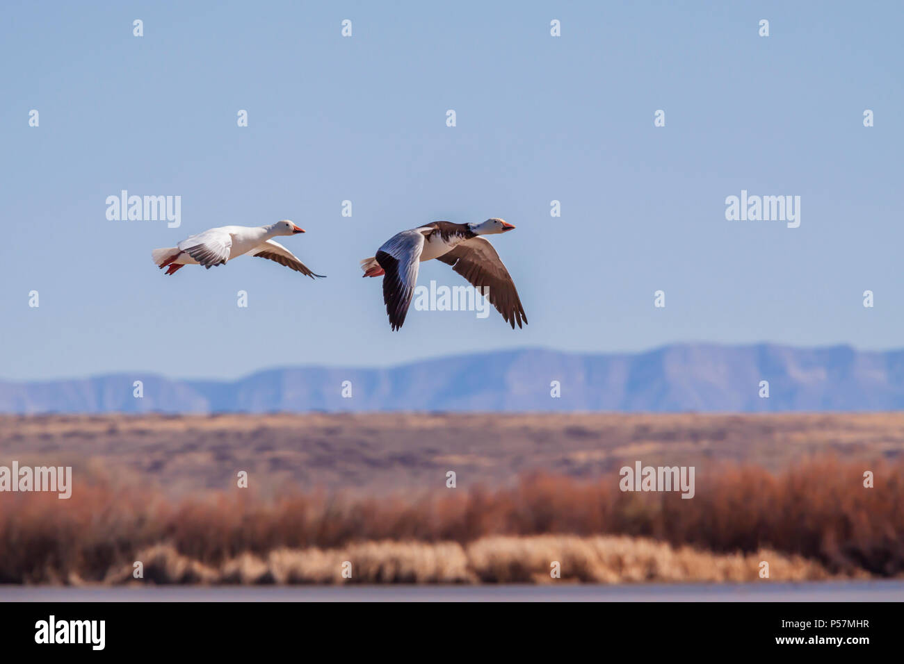 Snow Geese, Chen caerulescens, at Bosque del Apache National Wildlife Refuge. At Bosque, tens of thousands of birds--including sandhill cranes, Arctic - Stock Image