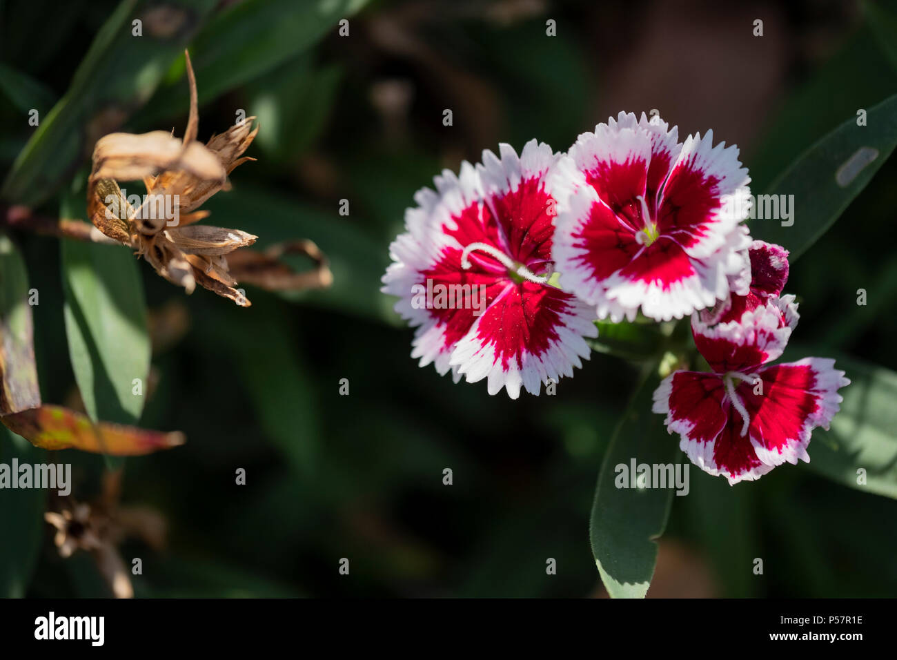 White And Red Flowers Of Dianthus Barbatus Stock Photos White And