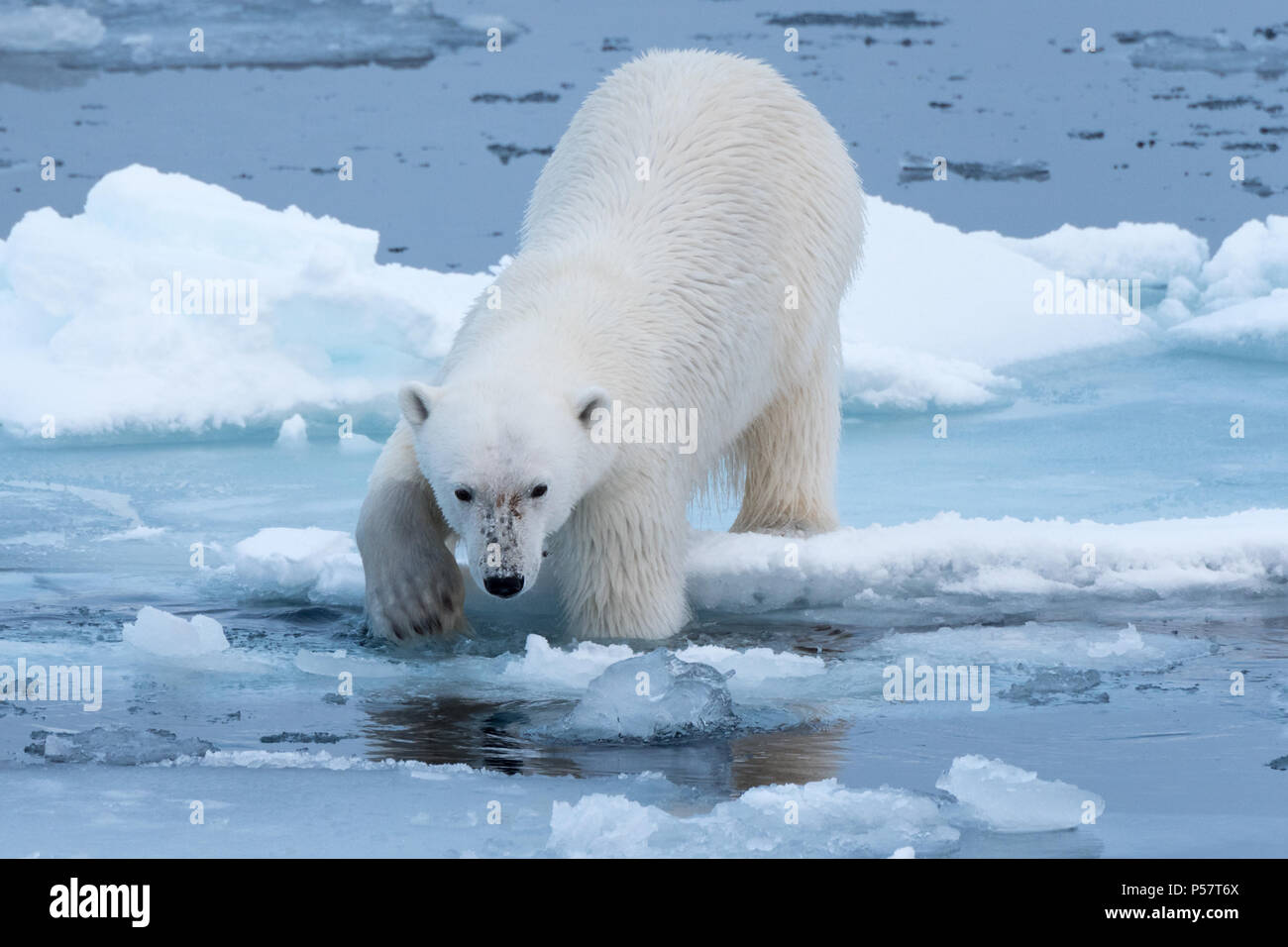 Polar Bear tentatively entering the water - Stock Image