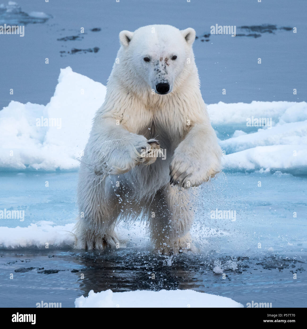 Polar Bear leaping over water - Stock Image