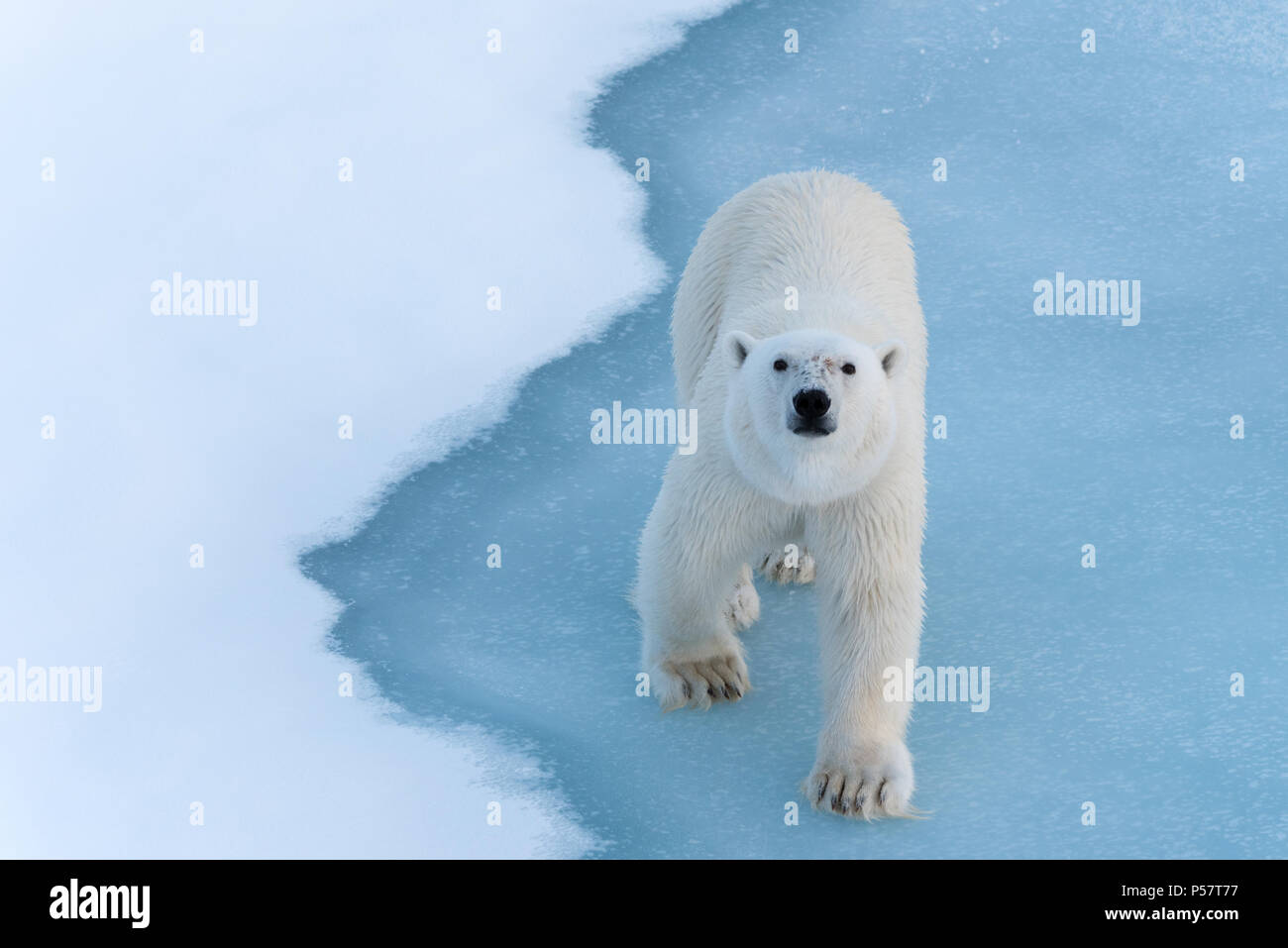 Close up Polar Bear full frontal to camera - Stock Image