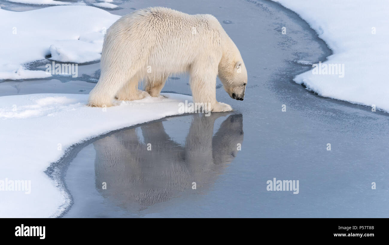 Polar Bear tentatively stepping onto thin ice - Stock Image