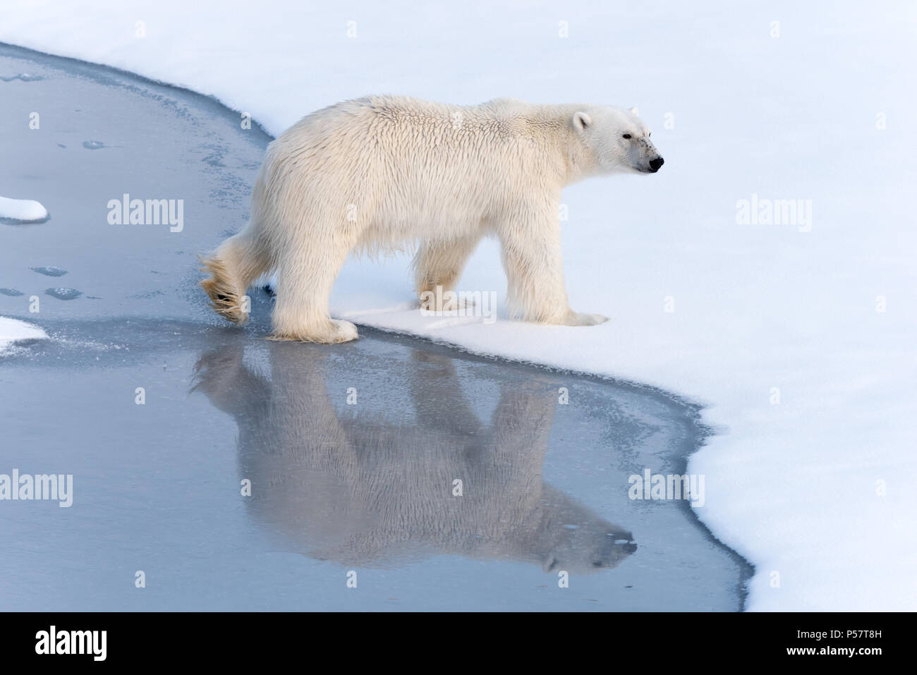 Polar Bear crossing thin ice with reflection - Stock Image