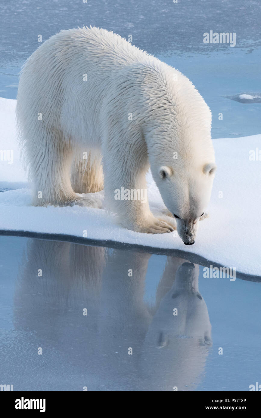 Polar Bear looking at it's reflection Stock Photo