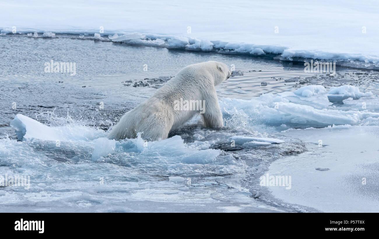 Polar Bear falling through thin ice - Stock Image