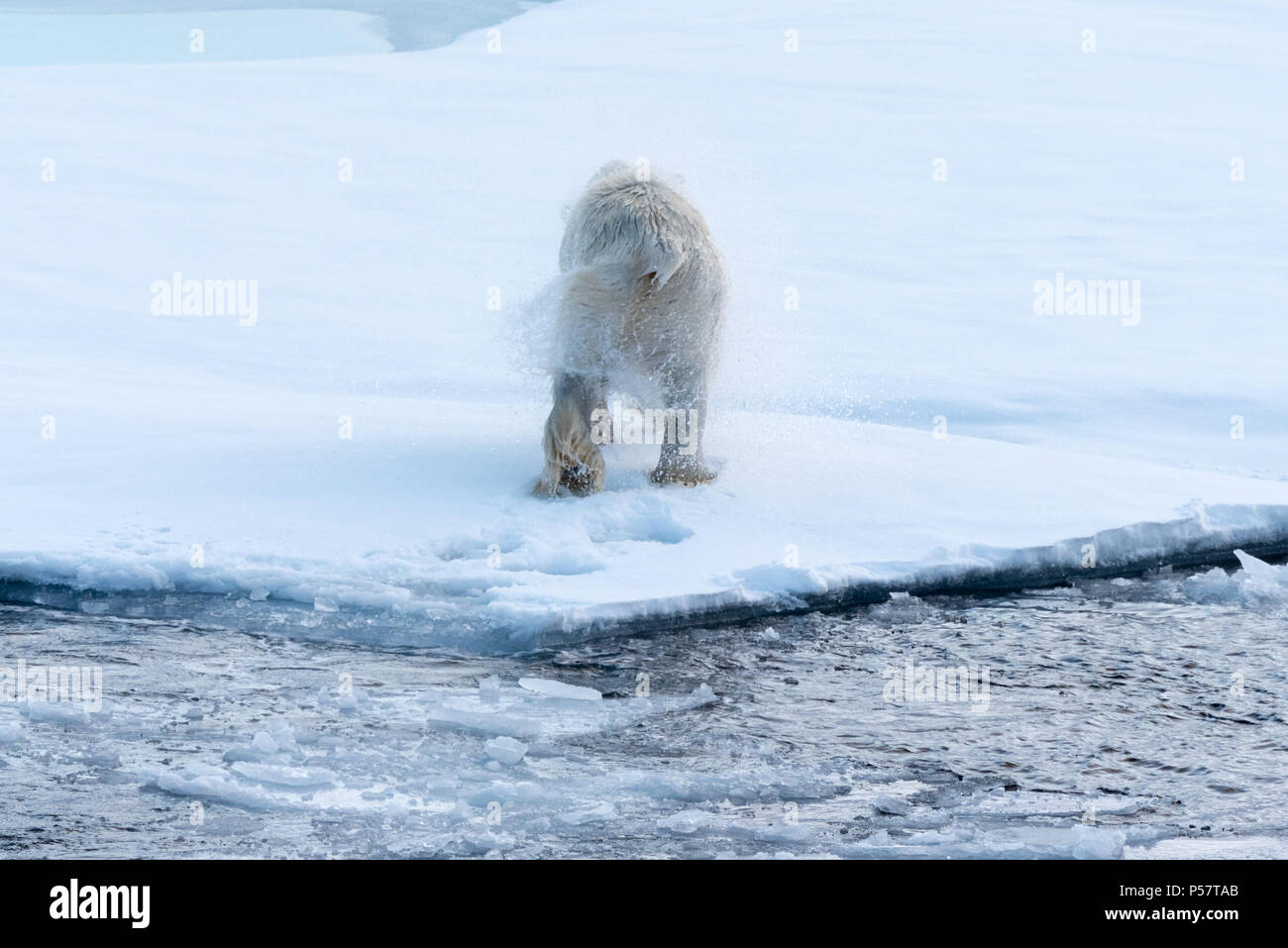 Polar Bear shaking after emerging from water - Stock Image