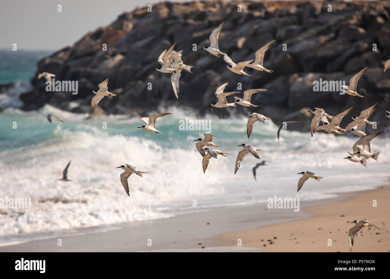 seagulls and cormorant birds sharing a beach of Musandam in Oman, close to their nesting grounds - Stock Image