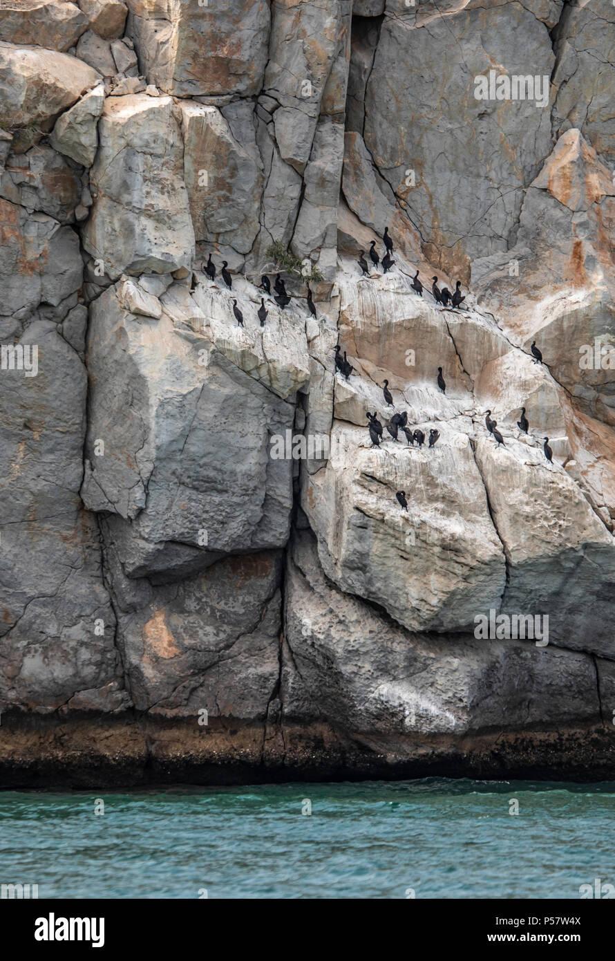 cormorant birds on a cliff in Musandam in Oman - Stock Image