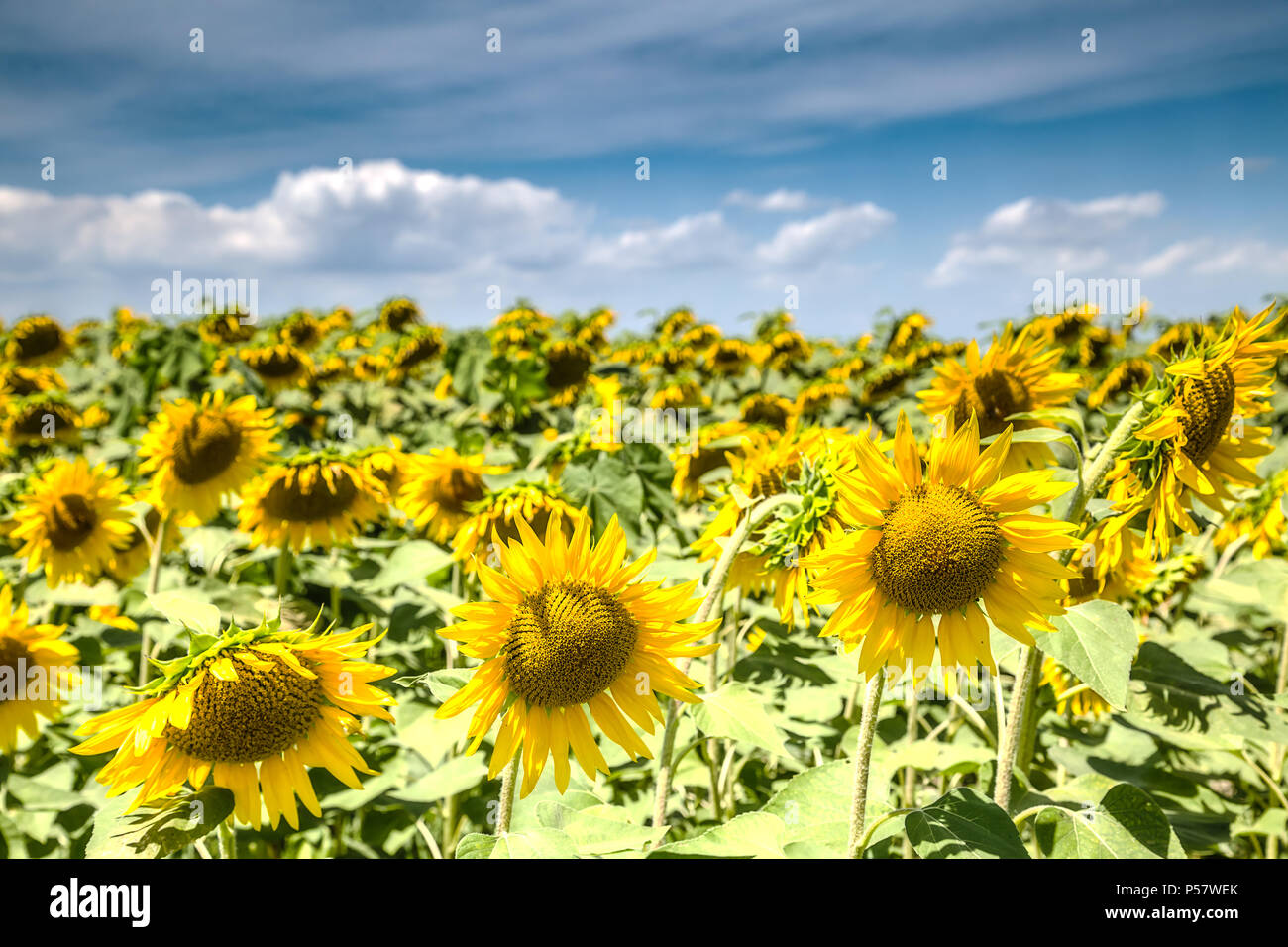 Fine sunny weather with some clouds on a blue sky and a sunflower field. Beautiful agricultural background. - Stock Image