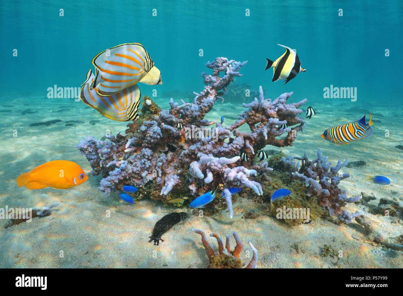 Colorful tropical fishes with Montipora coral underwater, Pacific ocean, Polynesia, Cook islands - Stock Image