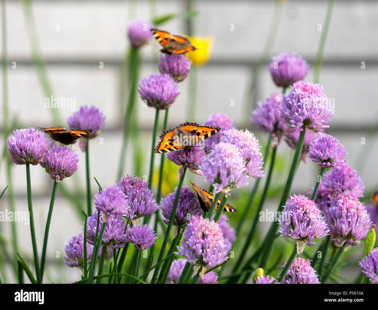 Small Tortoiseshell butterflies feeding on chives blossoms - Stock Image