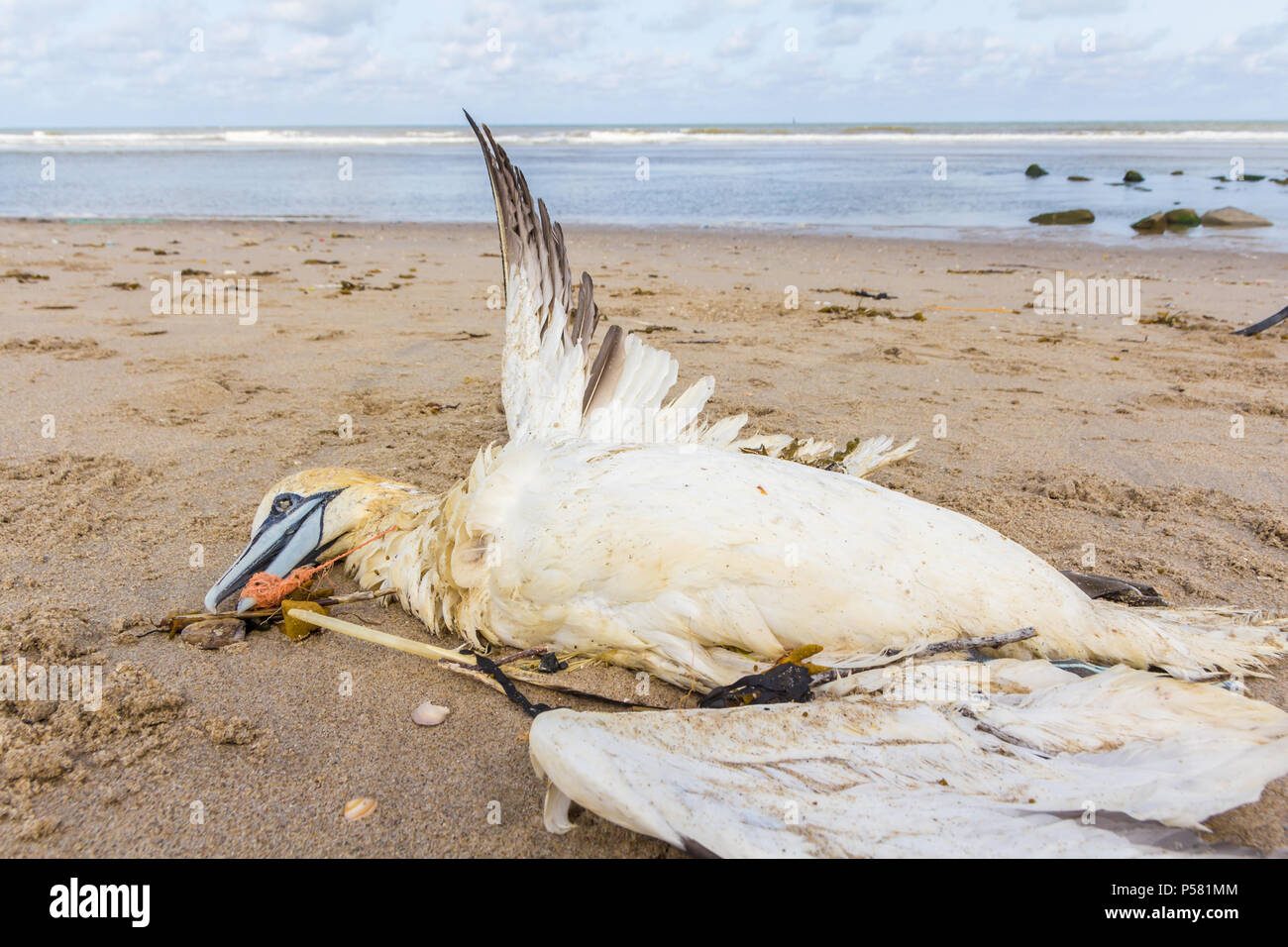 dead northern gannet trapped in plastic fishing net washed ashore on Kijkduin beach The Hague, the Netherlands - Stock Image