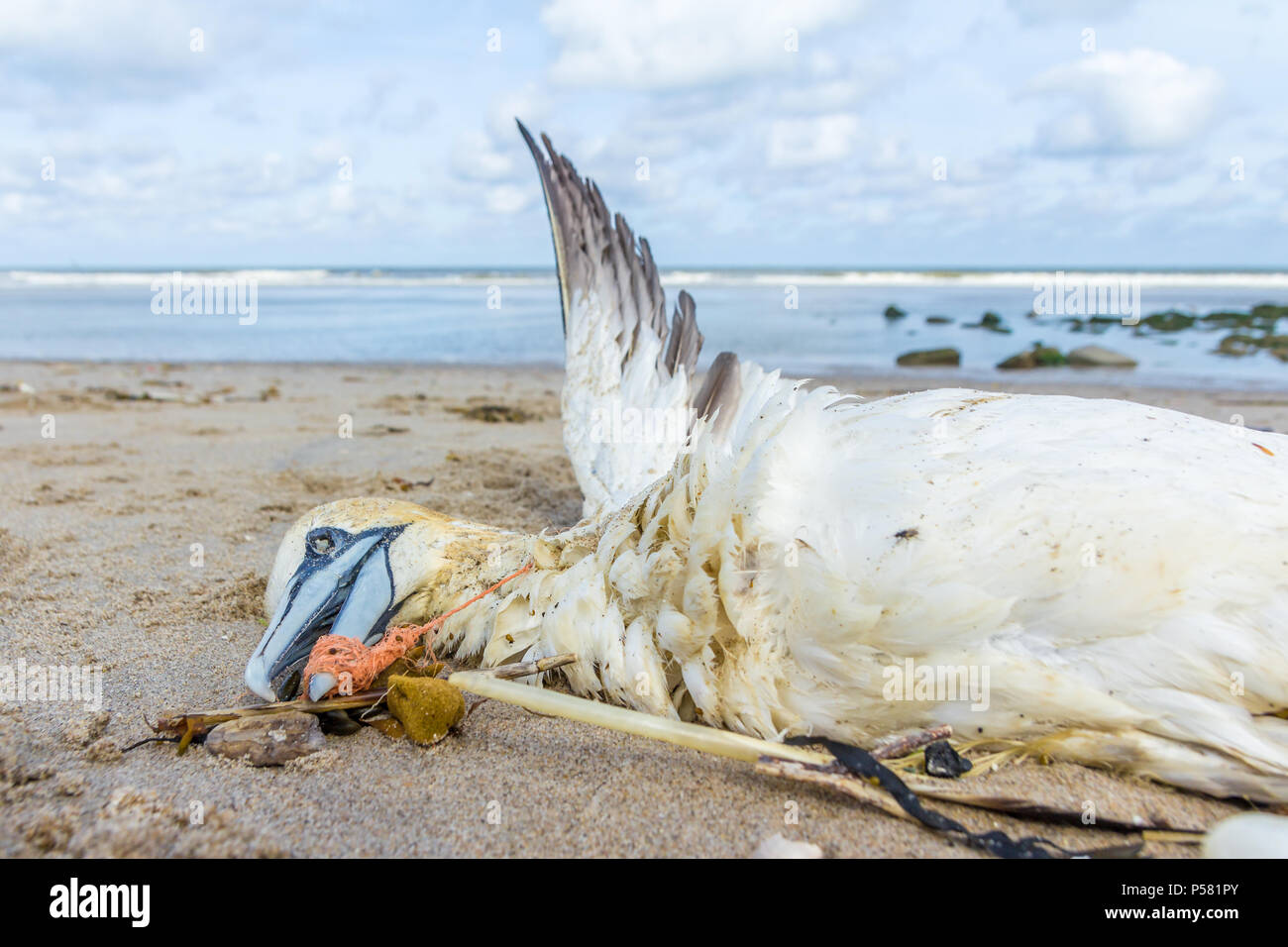 dead northern gannet trapped in plastic fishing net washed ashore on Kijkduin beach The Hague - Stock Image
