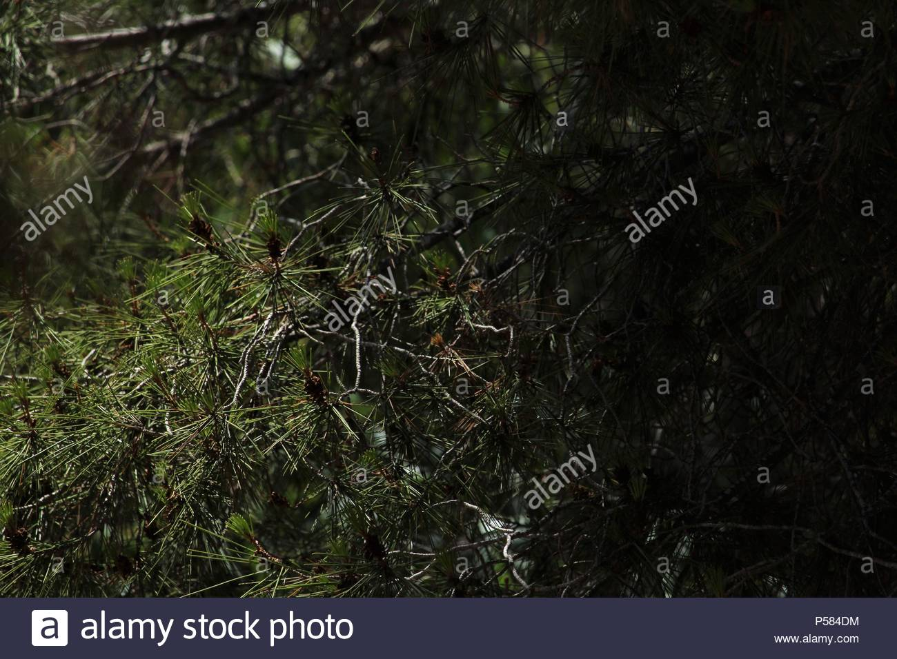 Wild landscapes - upward angular shot beneath an Aleppo pine tree (Pinus halepensis) at La Mata National Park & Nature Reserve, Spain. Summer 2018. - Stock Image