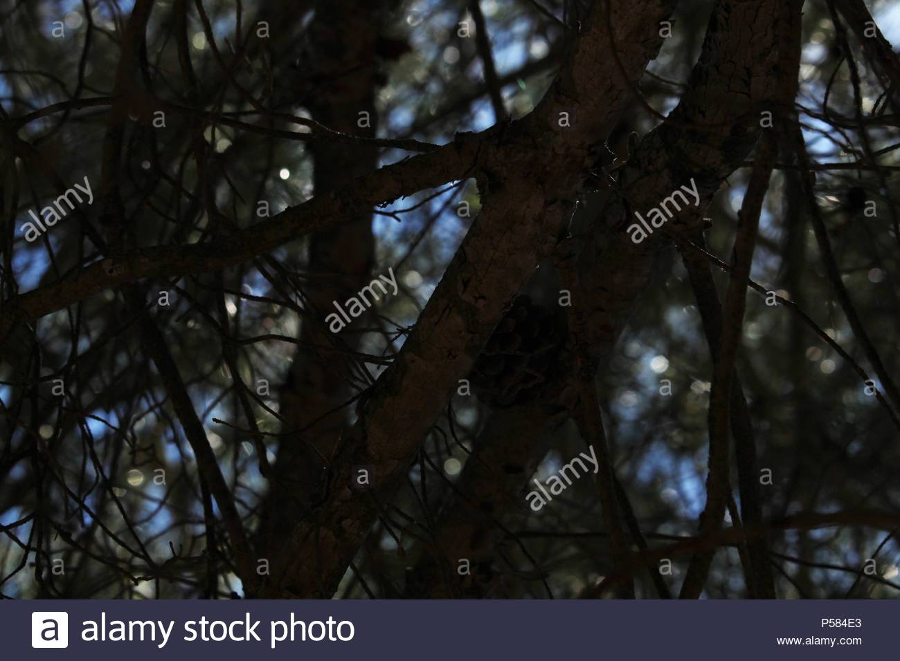 Upward angular shot of an Aleppo pine (Pinus halepensis) with a single pine cone suspended from branch. Bokeh in shot. - Stock Image