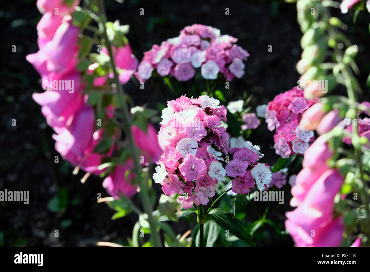 Pink and white Sweet William biennial flowers in bloom growing together with wild purple foxglove plants in June summer West Wales, UK    KATHY DEWITT - Stock Image