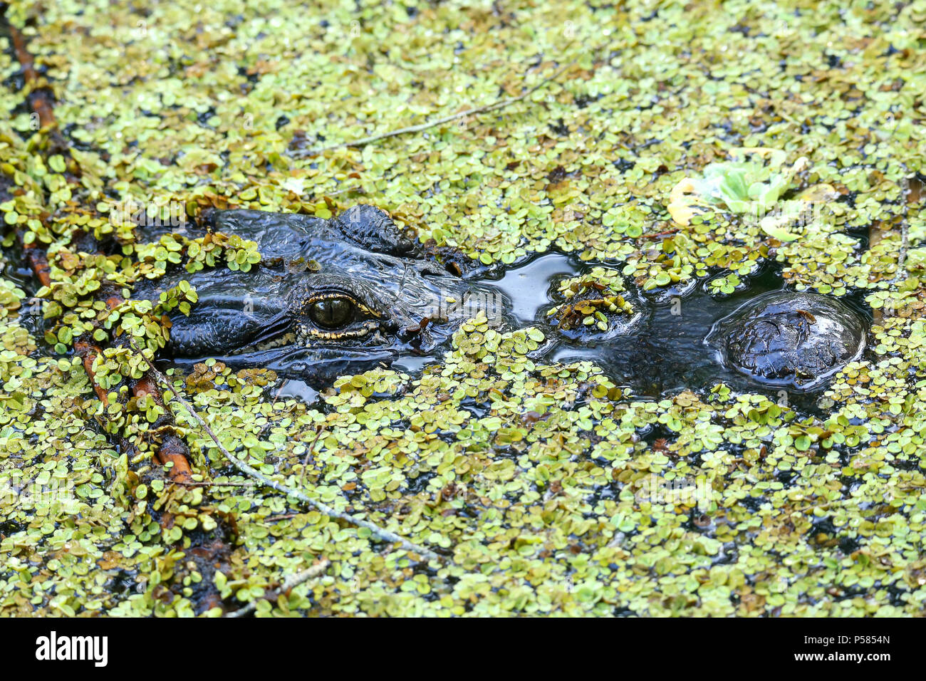 Portrait of Alligator (Alligator mississippiensis) floating in a swamp - Stock Image
