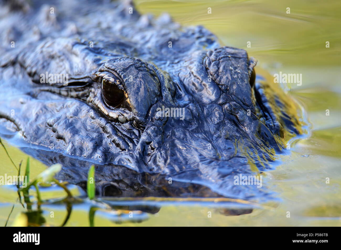 Portrait of Alligator (Alligator mississippiensis) floating in water - Stock Image