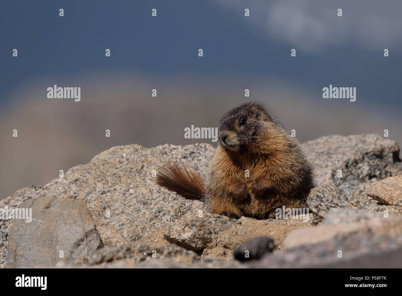 This young marmot plopped itself down alongside the road to the summit of Mt. Evans - Stock Image