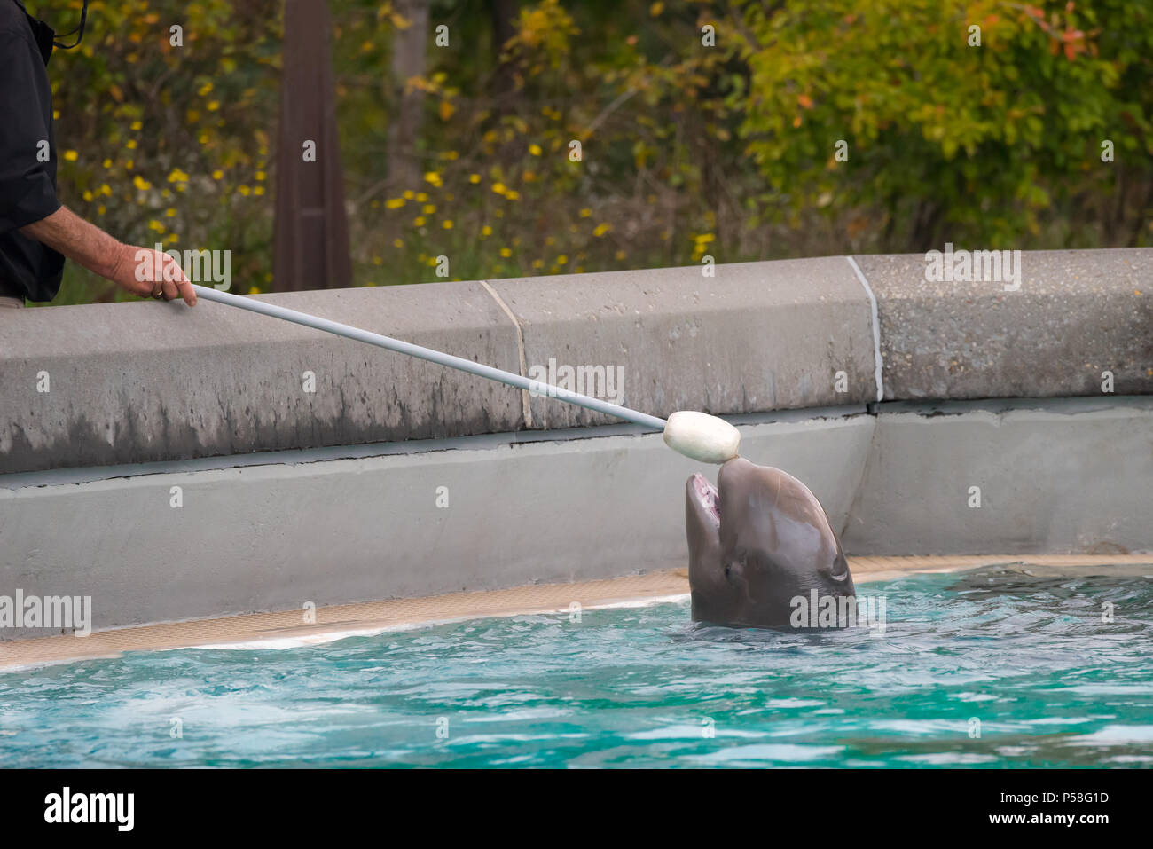 A very young beluga who was mimicking the adults during a training session at Marineland Canada, so the trainer held the target out so it could play. - Stock Image