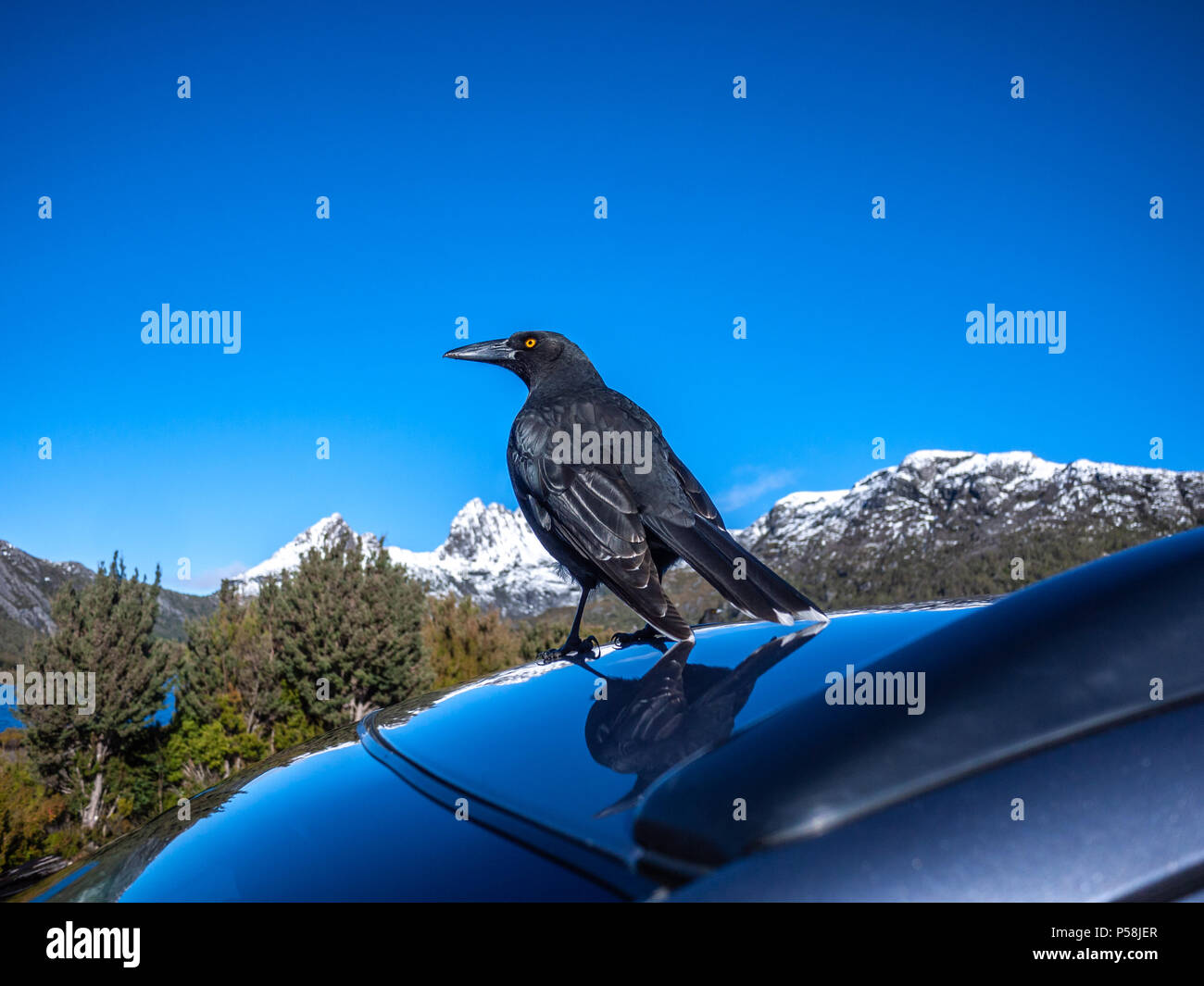 The Black Currawong bird, also known locally as the black jay, standing on top of a car near Dove Lake, with view of Cradle Mountain in distance. Stock Photo