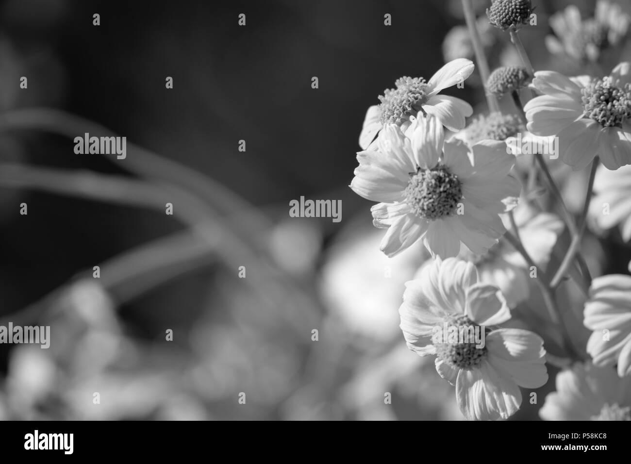Off Center Black And White Flower Stock Photos & Off Center Black ...