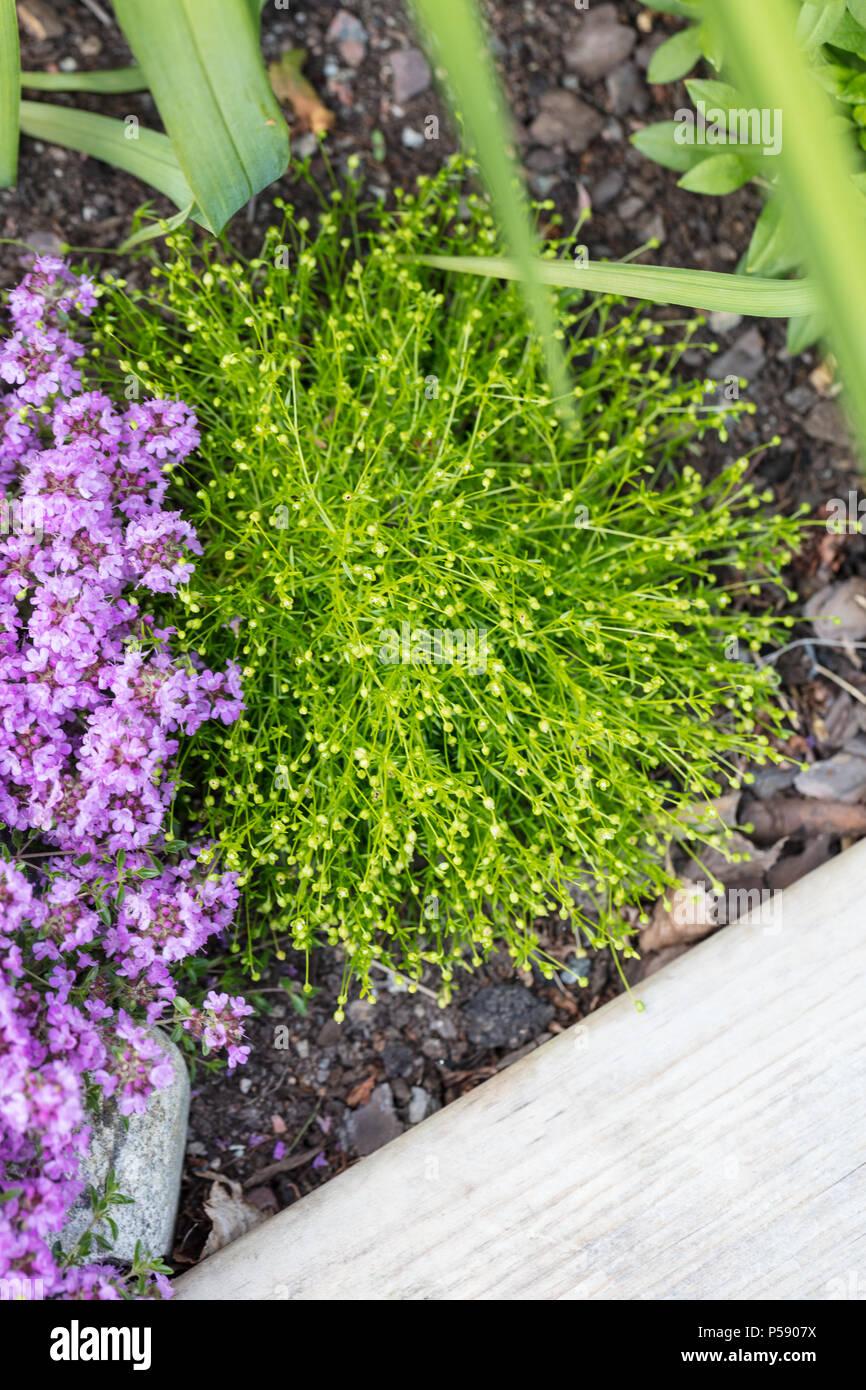 Irish-moss, Sylnarv (Sagina subulata) - Stock Image