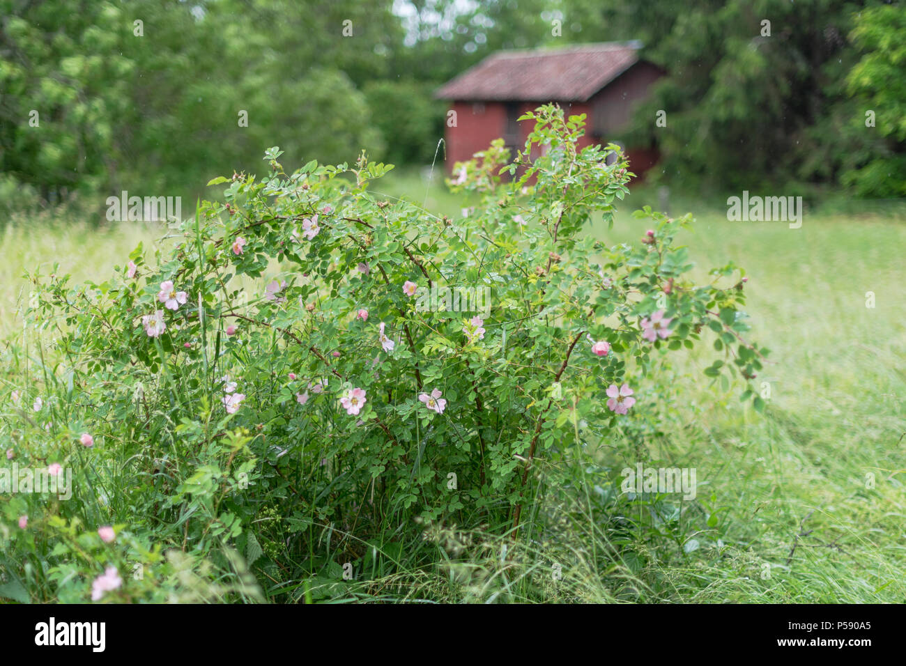 Rose Hip Bush With Pink Flowers And A Red House In The Background
