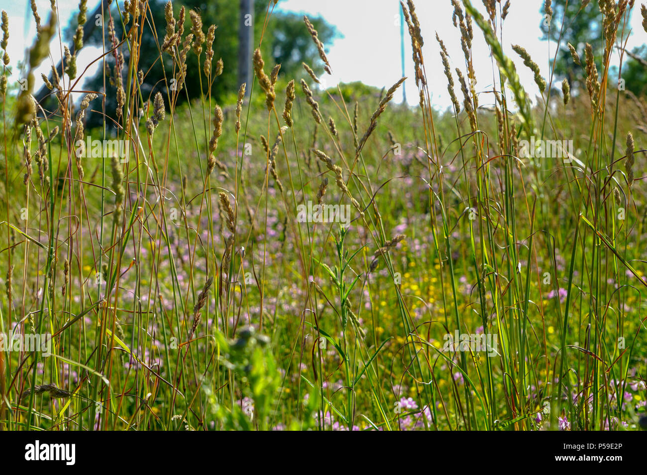 Tall grass flower stock photos tall grass flower stock images alamy tall grass stock image mightylinksfo