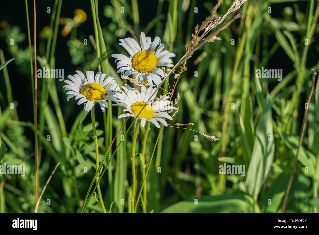 Weeds in grass - Stock Image