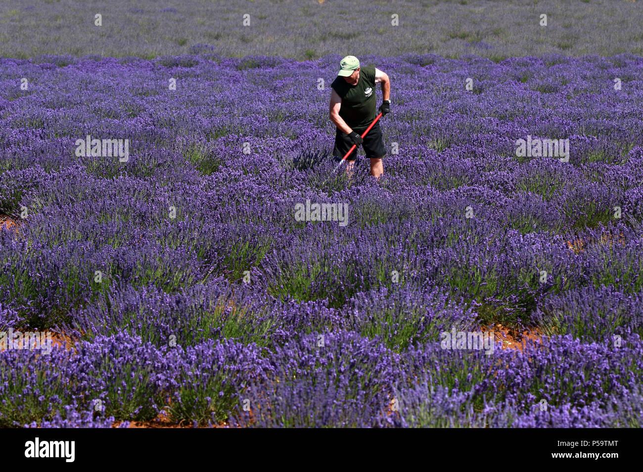Heacham Norfolk Uk 25th June 2018 Workers At Heacham Lavender