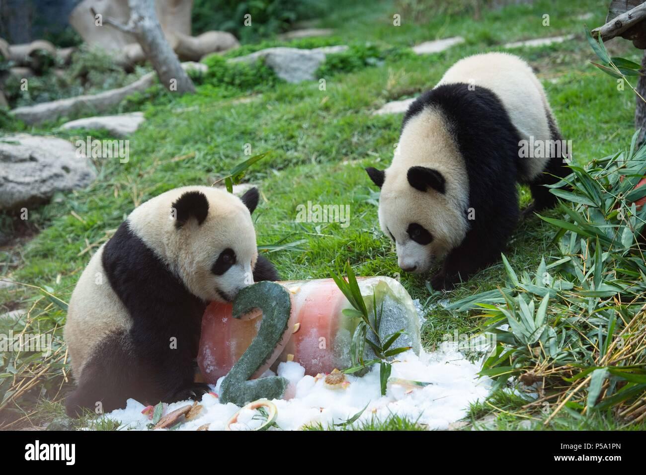 Macao June 26 26th June 2016 Giant Panda Jianjian R And