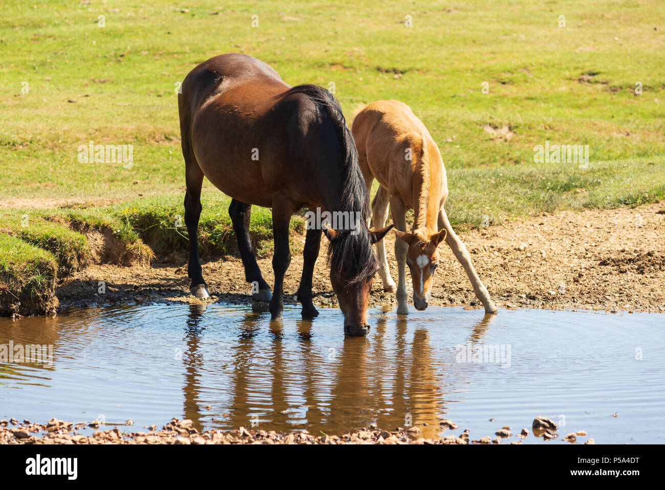 New Forest, Hampshire, UK, 26th June 2018, Weather: Heatwave conditions in the south of England national park. The free roaming animals are finding the grass short and water levels low. The month of June 2018 is set to be one of the hottest and driest on record. Credit: Paul Biggins/Alamy Live News - Stock Image