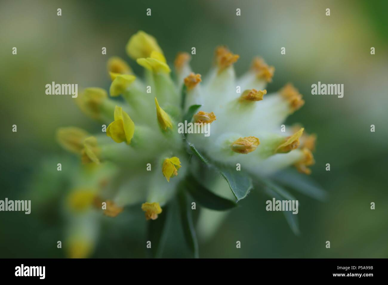Yellow, White & Green Kidney Vetch Flower on a Yellow, White & Green Background - Stock Image