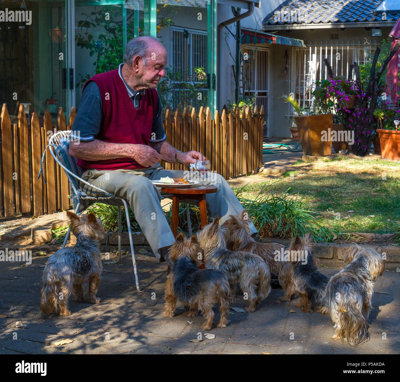 Old man eating lunch outdoors with pet dogs waiting patiently for a snack image in landscape format with copy space - Stock Image