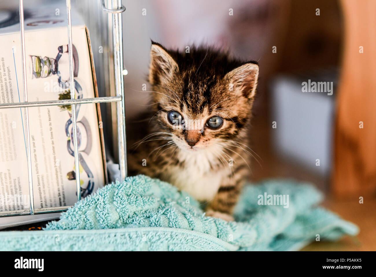 Small sweet tabby kitten.Small sweet tabby kitten. - Stock Image