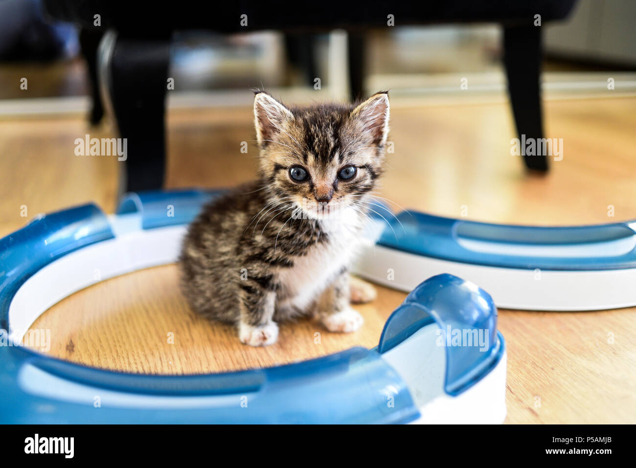 A small sweet tabby kitten with a toy.A small sweet tabby kitten with a toy. - Stock Image