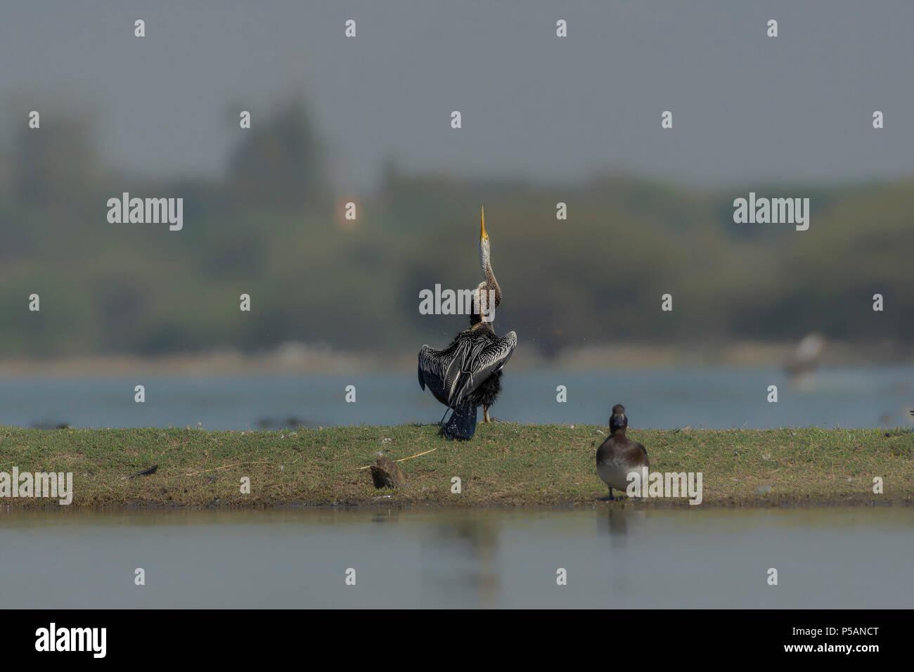Darter (Anhinga) or Snake Bird shaking its wings. - Stock Image