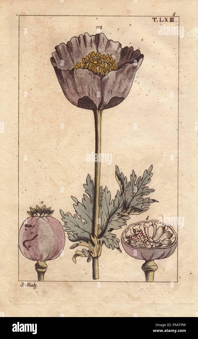 Opium poppy flower capsule seedpod papaver somniferum opium poppy flower capsule seedpod papaver somniferum handcolored copperplate engraving of a botanical illustration by j mightylinksfo