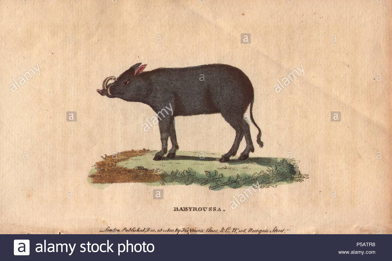 Babyroussa (North Sulawesi babirusa), native to Indonesia.. . Babyrousa celebensis. . Handcoloured copperplate engraving from 'The Naturalist's Pocket Magazine; or, Complete Cabinet of the Curiosities and Beauties of Nature' (17981802) published by Harrison, London. - Stock Image