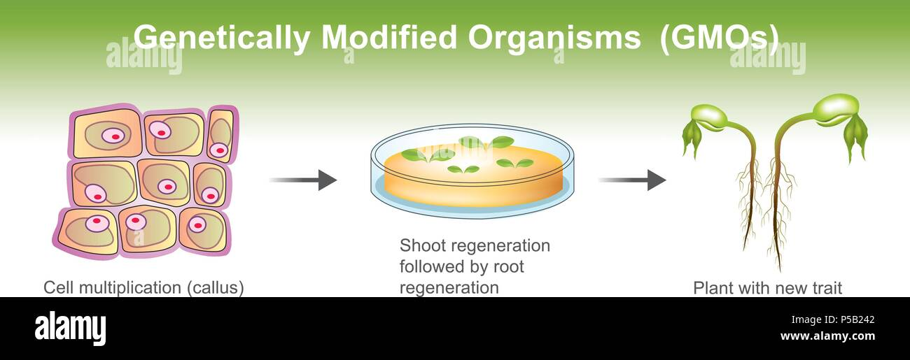 Genetically modified organism GMO is an organism or microorganism whose genetic material has been altered to contain a segment of DNA from another org - Stock Image