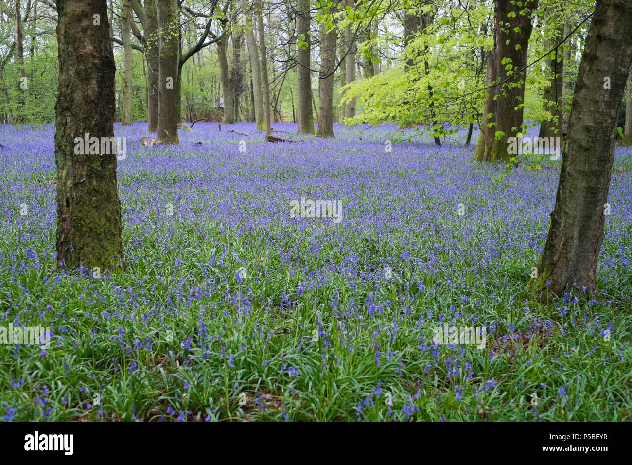 Bluebell flowers Hyacinthoides in woodland, Medstead, Hampshire, England, United Kingdom. - Stock Image