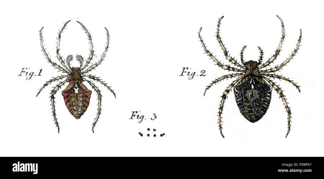 Na english paintings from the original description of araneus na english paintings from the original description of araneus angulatus by carl clerck figure 1 male figure 2 female figure 3 diagram of eyes ccuart Images