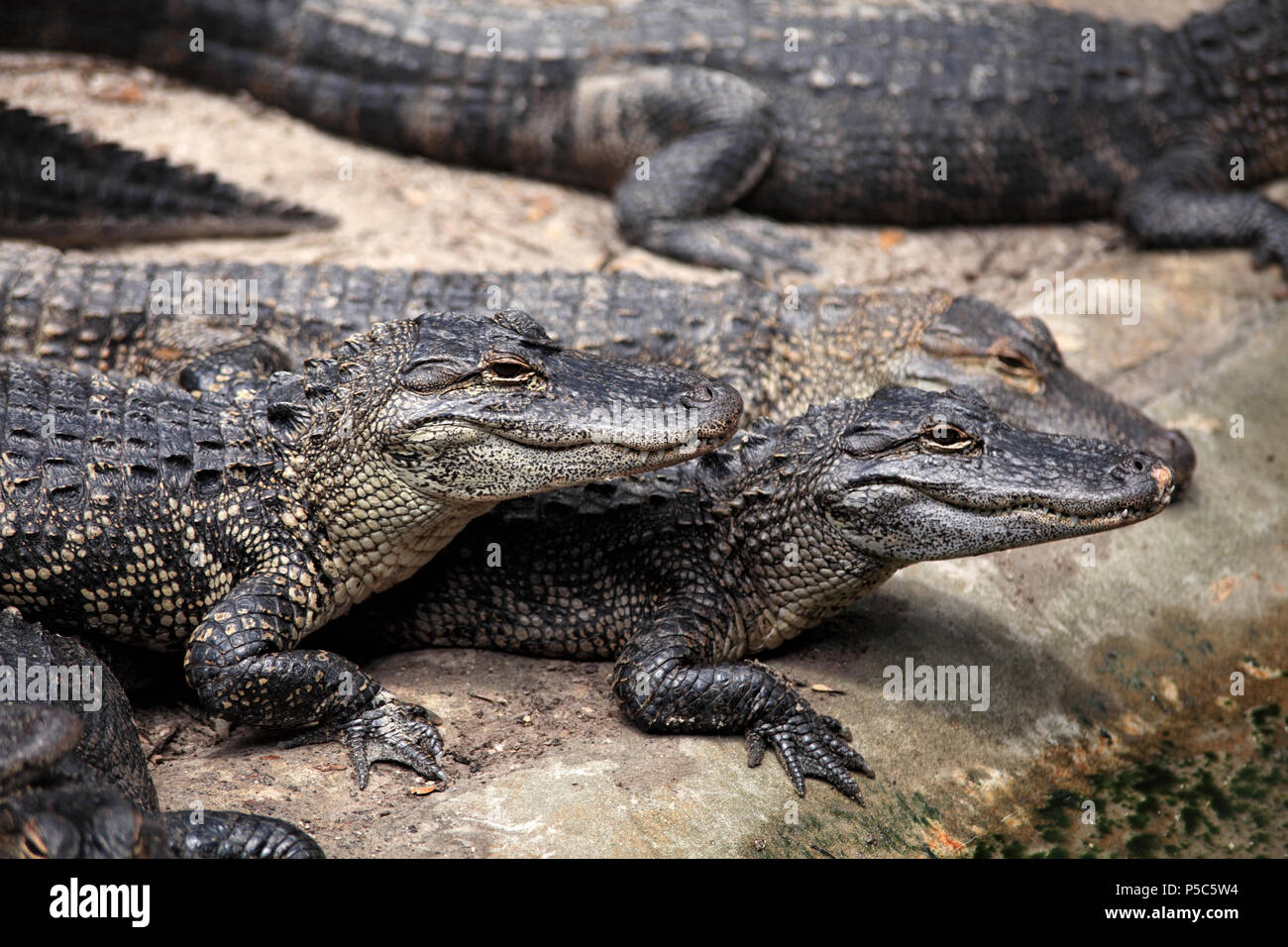 Close up shot of alligators resting by water - Stock Image