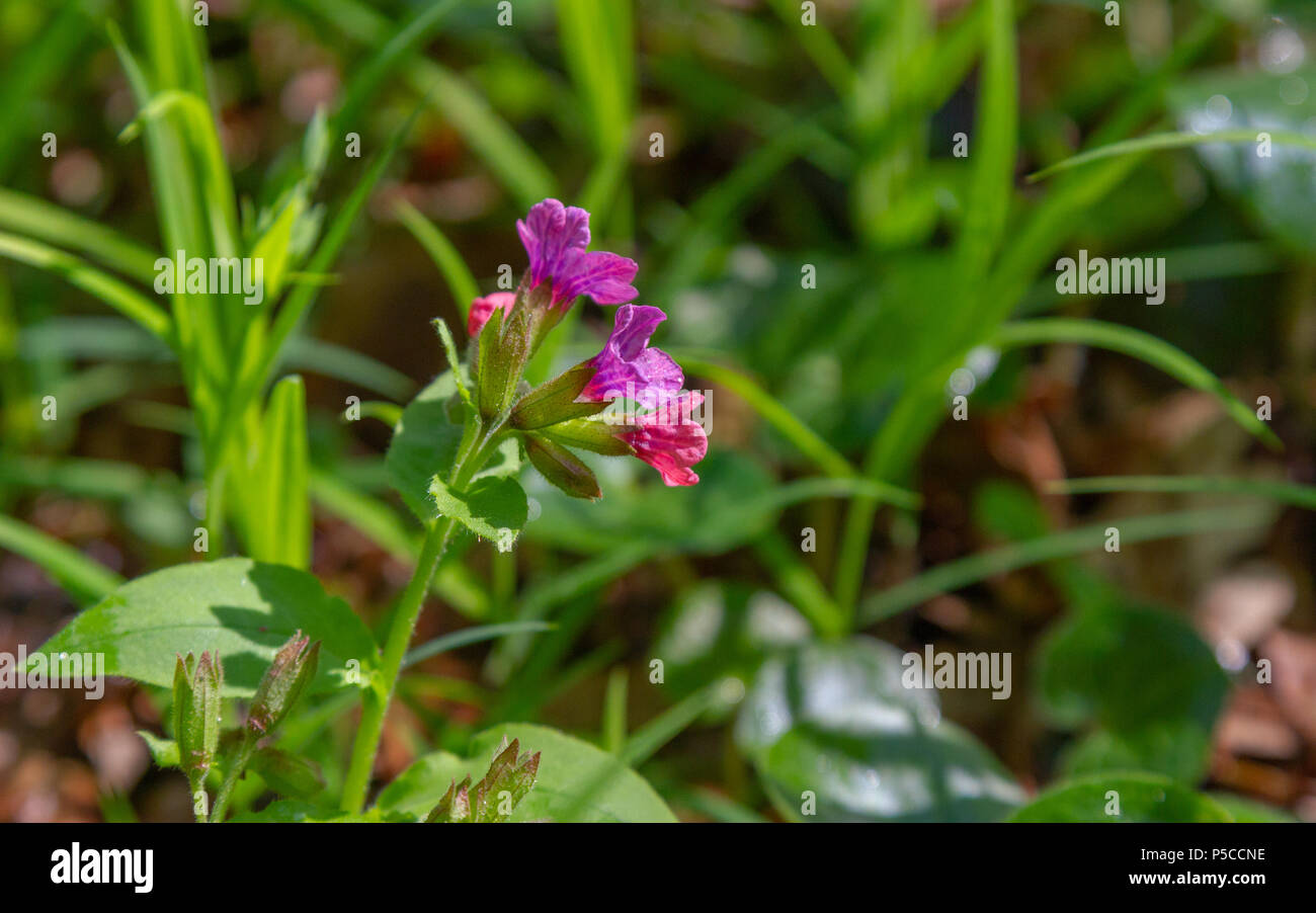 Pink and blue flowers unspotted lungwort or suffolk lungwort pink and blue flowers unspotted lungwort or suffolk lungwort pulmonaria obskura in the early spring izmirmasajfo